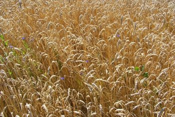Gluten is found in cereal grains.