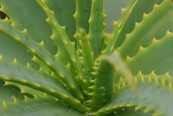 Aloe vera contains internal benefits for the body.