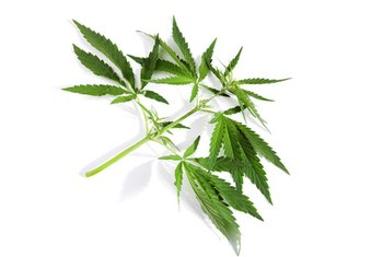 Hemp is an excellent protein source for vegetarians.