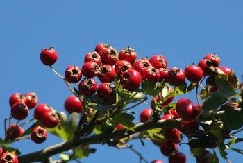 Hawthorn may alleviate some symptoms of congestive heart failure.