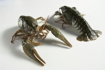 Crayfish resemble small lobsters, but are found in freshwater.