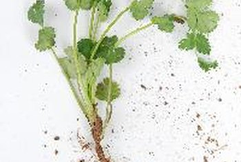 Cilantro offers potential detoxifying benefits for the kidneys.