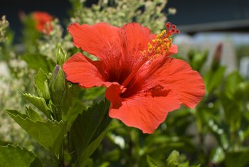 Hibiscus may offer benefits for arthritis symptoms.
