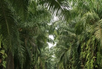 Oil from palm oil trees, which is used in processed and packaged foods, could be detrimental to your heart.