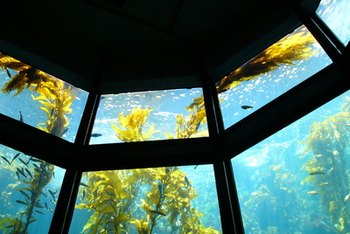 Kelp is a nutrition-packed form of brown algae that grows in the sea.