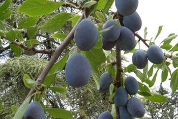 Prunes derive from plums.