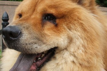 Chow Chow is one of the breeds deemed an insurance risk.