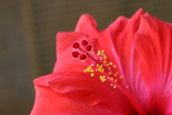 Hibiscus flowers are a symbol of the tropics.