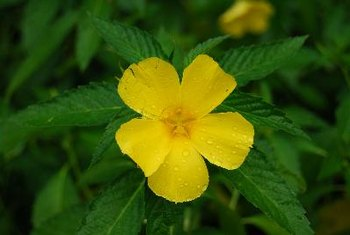 Evening primrose oil contains plant hormone compounds.