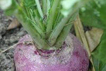 Pureed turnips are a healthy source of vitamin C.