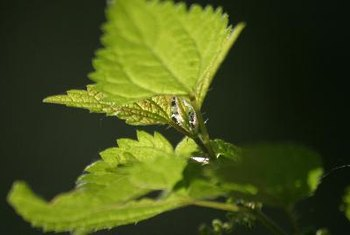 Stinging nettle contains several compounds with medicinal properties.