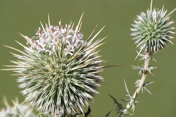 Both milk thistle and dandelion contain biologically active compounds.