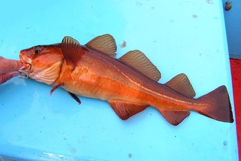 Is cod a healthy fish to eat healthy eating sf gate for Cod fish nutrition