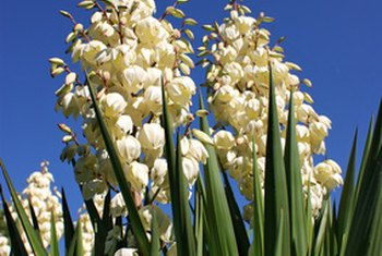 Yucca provides a variety of potential health benefits.