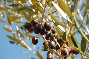 Black olives offer an array of health benefits.