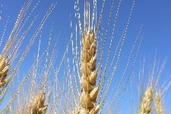 Wheat is a common cereal ingredient.
