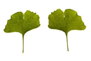 Gingko biloba improves blood supply to the brain.