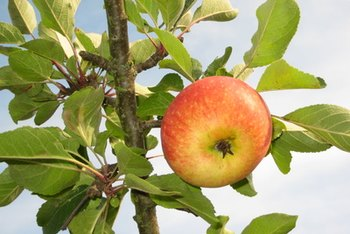Apples contain disease-fighting chemicals.