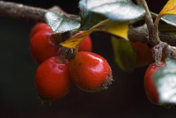 Rose hips may work with vitamin C to help prevent arthritis.