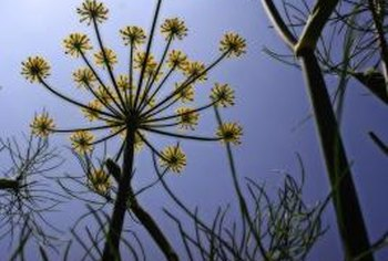 Wild fennel is a perennial weed with a penetrating, sweet smell.