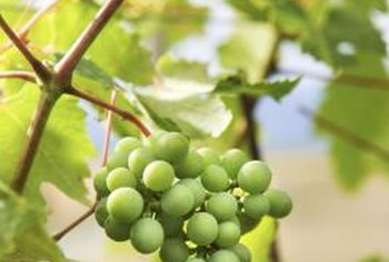 White seedless grapes are worth the wait for home gardeners.