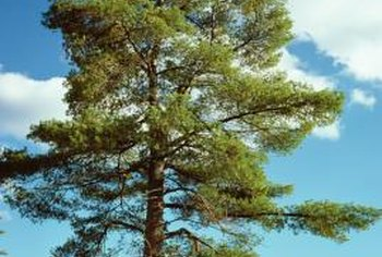Pine trees prefer full sun to thrive.