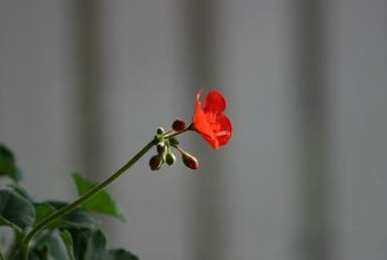 Geraniums are grown as annuals in most temperate climates.
