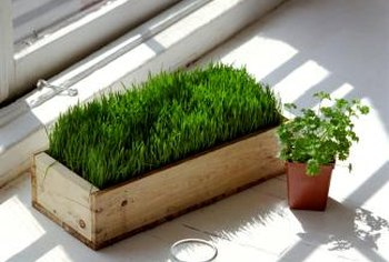 Wheat grass mixes well with herbs in a sunny window display.