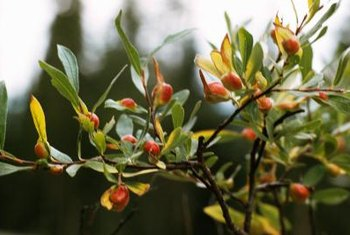 Barberry seeds germinate and sprout easily in the landscape.