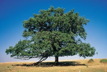 Live oaks have developed root systems to cope with long, dry summers.