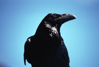 Crows also eat garden pests, clean up carcasses and spread seeds.