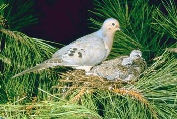 Doves often construct nests with pine needles and small branches.