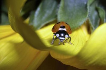 Attract ladybugs to your garden to help control brown scale.