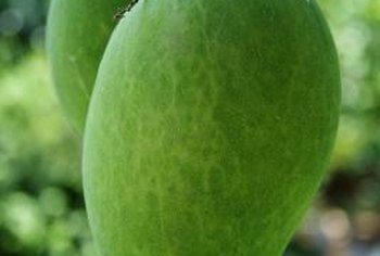 Letting mangoes ripen on the branch produces better quality fruit than plucking them early.