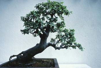 Trees best for bonsai have attractive bark and good branching form.