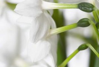 Paperwhites add a fresh and elegant vibe to your house in the winter.