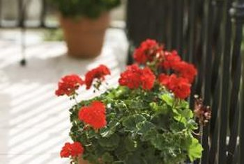 Traditional red geraniums brighten patios and balconies.