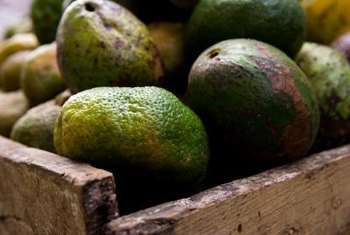Your harvest is at its final end when the avocado fruits begin to drop from their tree limbs.