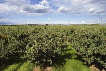 Choose an apple tree variety known to grow well in your region.