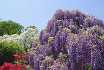 Wisteria quickly takes over whatever it grows on.