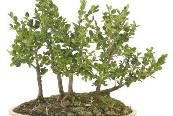Dwarf pomegranate trees lend themselves to the grove bonsai style.