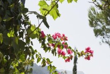 Flowering cold-tolerant vines can be planted for greenery and floral interest.