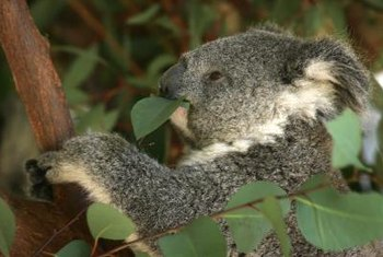 A baby koala chews on its typical meal of eucalyptus leaves at the Los Angeles Zoo.