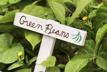 Healthy green beans have broad, bright green leaves.