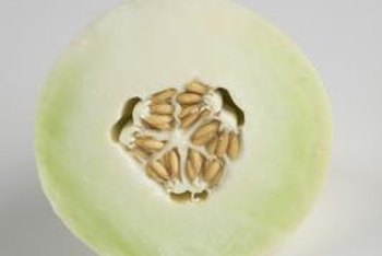 Honeydew melons are part of the winter melon family.