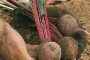 Like these table beets, mangels tolerate a range of soil types.