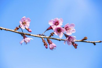 Bronze leaf plum trees have light pink flowers.