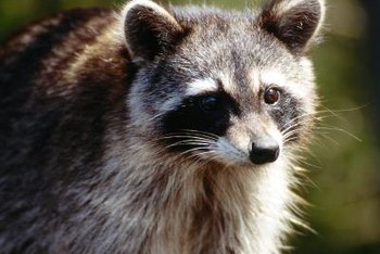 Raccoons are opportunistic omnivores that feed at night.