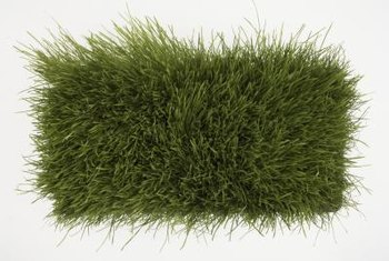 Wheatgrass supplies doses of certain nutrients.
