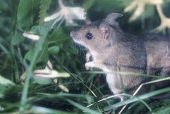 Get rid of garden field mice without toxic materials.